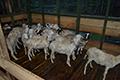Korporasi Domba Berbasis Pesantren