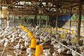 Ayam Kerdil, Untung Mengecil