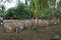 Melestarikan Ayam Lokal Bali