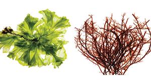 Alga Meningkatkan Pertahanan Alami pada Broiler