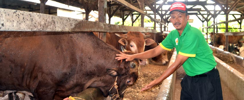 Harga Jual Sapi Merangkak Naik di Lampung