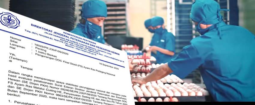 Penetasan Telur Broiler Dipotong 50%