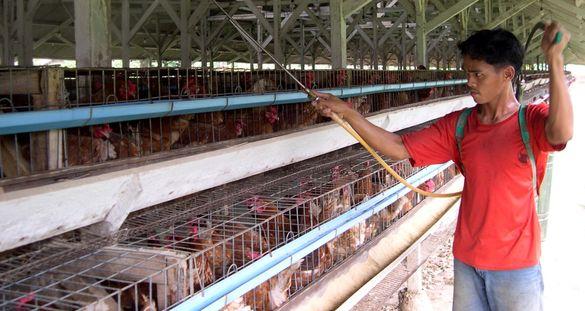 Pilah-Pilih Disinfektan untuk Kandang Ayam
