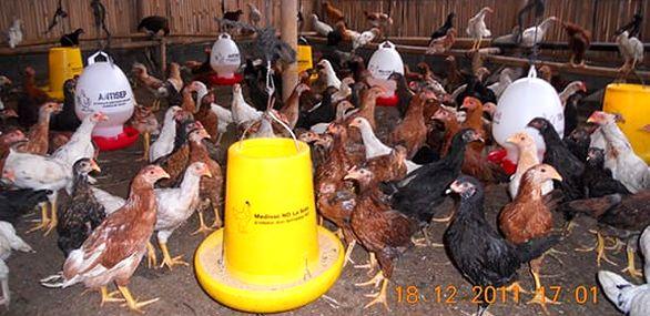 Cara Mudah Beternak Ayam Kampung Super