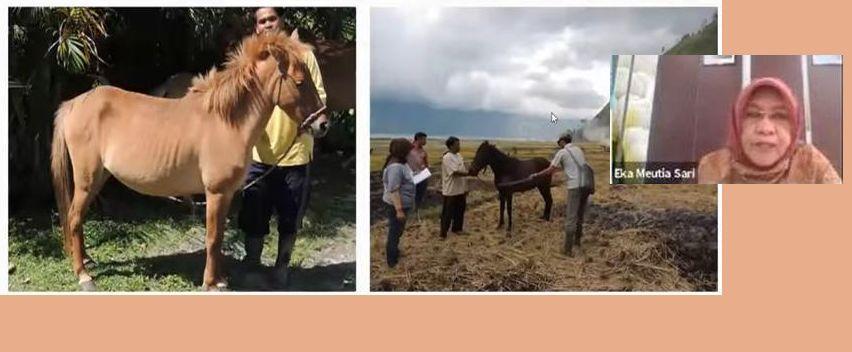 Kuda Gayo, Kuda Pacuan Bangsawan Aceh yang Hilang