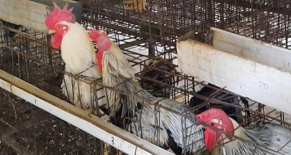 Ayam Gaok Terseleksi, Karkasnya Lebih Besar