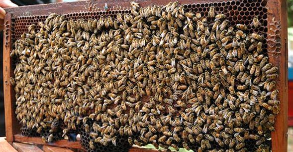 Manfaat Budidaya Lebah Madu