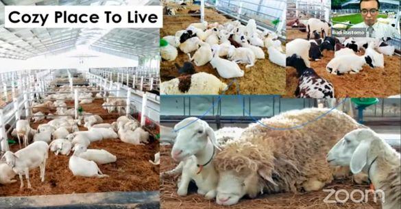 Beternak Domba Sepenuh Hati