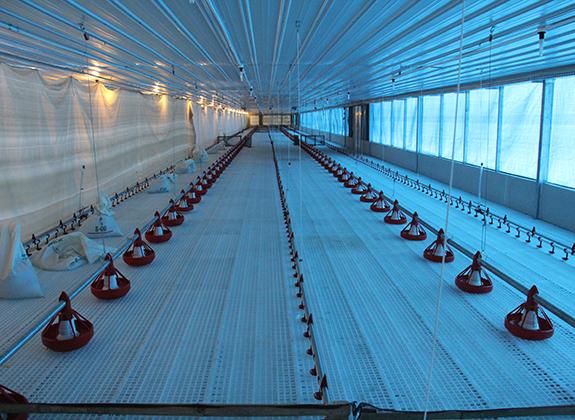Persiapan Kandang Benar Budidaya Ayam Lancar Manajemen Unggas Trobos Livestock Com